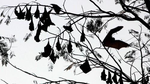 Il nuovo coronavirus è passato dai pipistrelli all'uomo