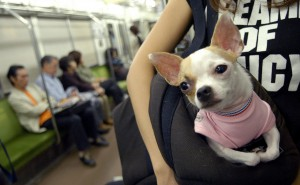 A Chihuahua is carried in a commuters shoulder bag in Tokyo