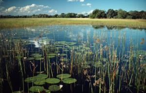 Swamp and waterlilies in the Okavango Delta, Botswana