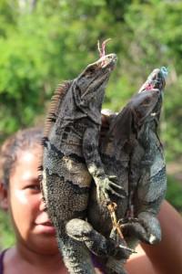 Iguane vendute illegalmente in strada per essere cucinate