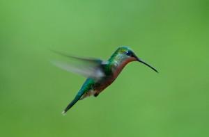 Il colibrì fotografato da Carlos Sanchez Alonso
