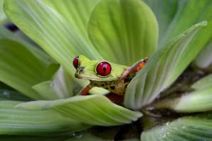 La raganella dagli occhi rossi è uno dei tanti prodigi del Costa Rica. Foto di Carlos Alonso Sanchez