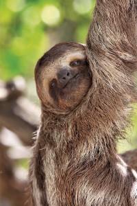 """Il bradipo o """"perezoso"""" è la mascotte del Costa Rica"""